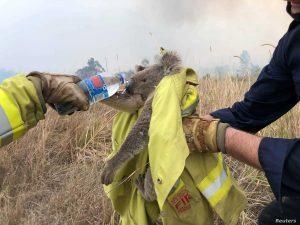 koala being rescued